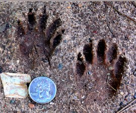 raccoon_tracks